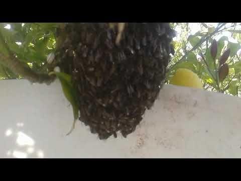 معلومات وطريقة انزال طرد النحل من الشجرة و البحث عن الملكات: تربية ...