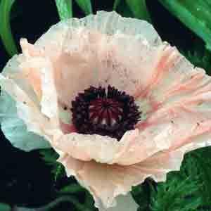www.rustica.fr - Choisir sa variété de pavot d'Orient - 'Juliane'