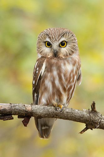 northern saw-whet owl out in the open.