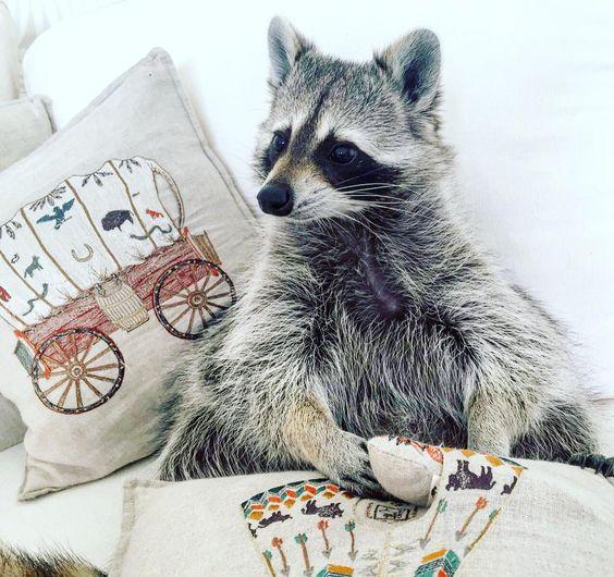 Pillows! Pockets! Pillows! Pockets!  @coralandtusk pillows  #pumpkintheraccoon #raccoon #weeklyfluff #dailyfluff #instagood #instagram #instadaily #raccoonsofinstagram #RaccoonLove #coralandtusk #pillows by pumpkintheraccoon