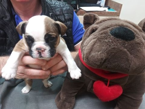 Bulldog Puppy For Sale In Plano Tx Usa Adn 117395 On