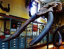 Skull of Cuvieronius hyodon Muséum national d'Histoire naturelle, Paris