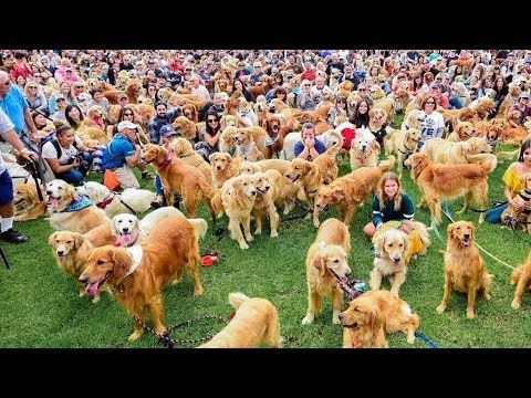 Youtube World Records Golden Retriever Dog Stories