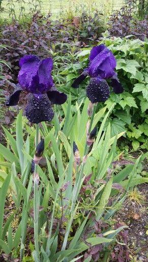 Irises in Keswick