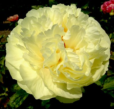 """PEONY 'LEMON CHIFFON 1 bare root plant $150.00    ☆NEW OFFERING   An exciting hybrid with beautiful lemon yellow double blooms. Very good substance, floriferous, and with strong stems to hold the full blooms upright. Bomb to ball-type form in an unusual and striking color for Peonies. Attractive deep green foliage makes a perfect backdrop for the light and bright flowers. Size: 32"""". Bloom time: Mid. Plant zones: 2-8. Code: 5PEOLEMC."""