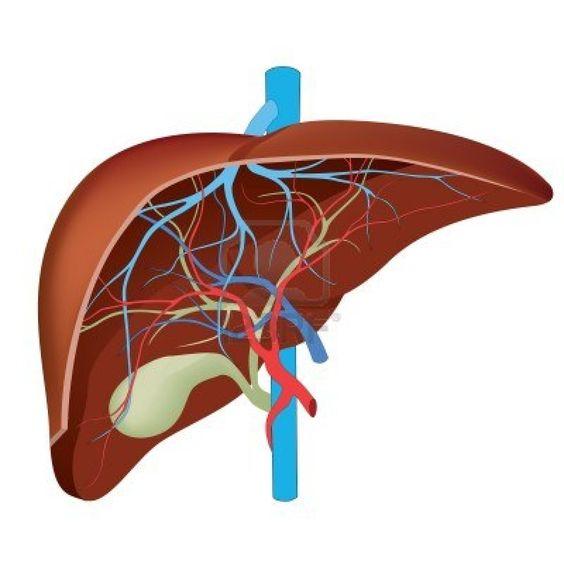 Human Liver Diagram