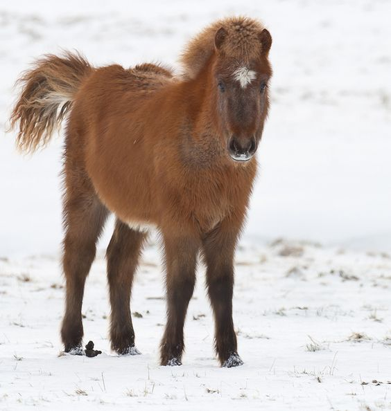 An Icelandic horse with a heavy winter coat (Equus ferus caballus)