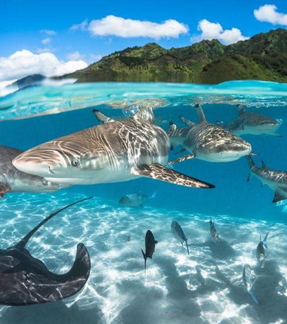 美しい青空と海中のホホジロザメ