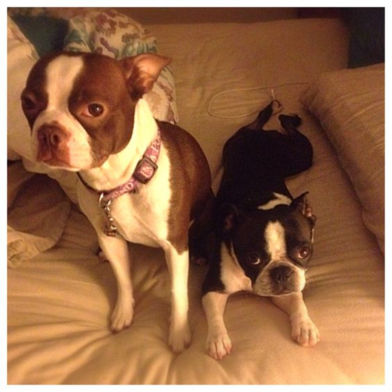 Just two Boston's!!! Lea is red and white and Fiona is the black and white! #fiona #fionatheboston #puppylove #bostonterrier