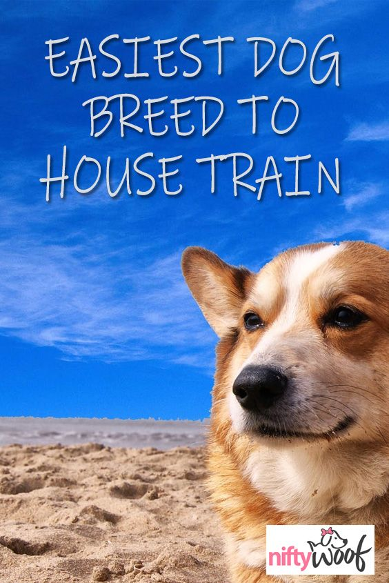 Easiest Dog Breed To House Train Dog Breeds Dogs Dog Breeds Medium
