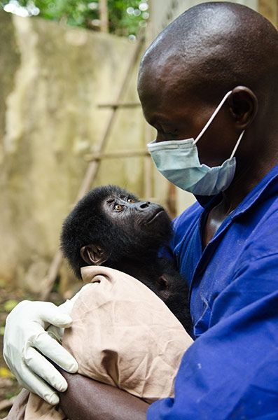 Ranger Christian Shamavu and baby gorilla, Virunga National Park. Photo: LuAnne Cadd,via the Guardian