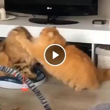 Gato vs Gato, a briga mais brutal de todos os tempos
