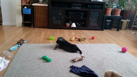 Cooper + toys = owns living room