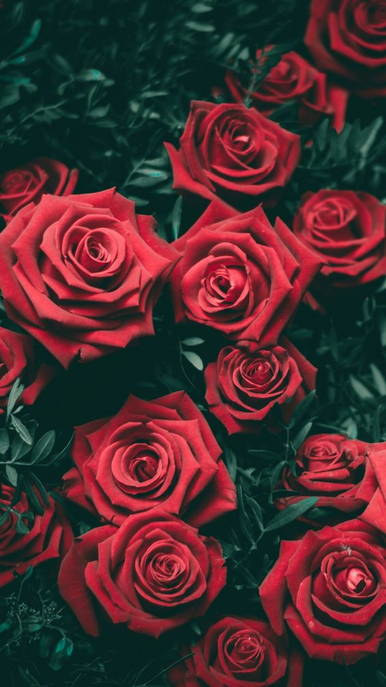 ꮲꮖnnꭼꭰ Fꭱꮎꮇ ꮖꮪꮪꭺꭰꮜᏼᏼ Rose Wallpaper Flowers Photography Red Wallpaper