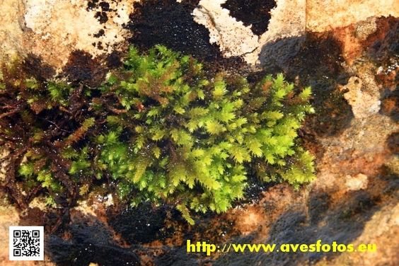 Los musgos son plantas briófitas con hojas bien desarrolladas y provistas de pelos rizoides o absorbentes, que tienen un tallo parenquimatoso, en el que se verifica una diferenciación en dos regiones: central y periférica. #musgos