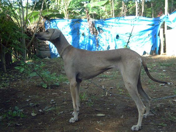 Chippiparai Dogs Indian Greyhound Sighthound Dogs Hound Dog