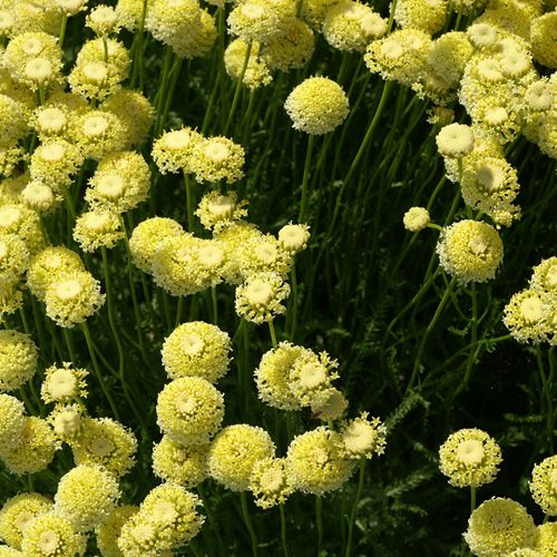 Santolina chamaecyparissus var lindavica santoline for Catalogue plantes et arbustes