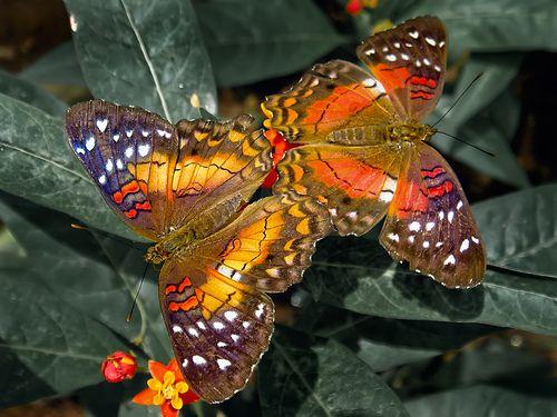 superbes papillons! - Page 2 6e8660bee20c8ebbd404926200e761af
