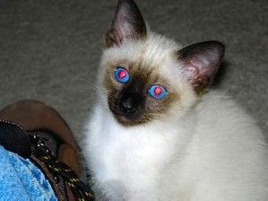 applehead siamese cats Pictures