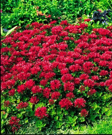 Red dress red carpet sedum