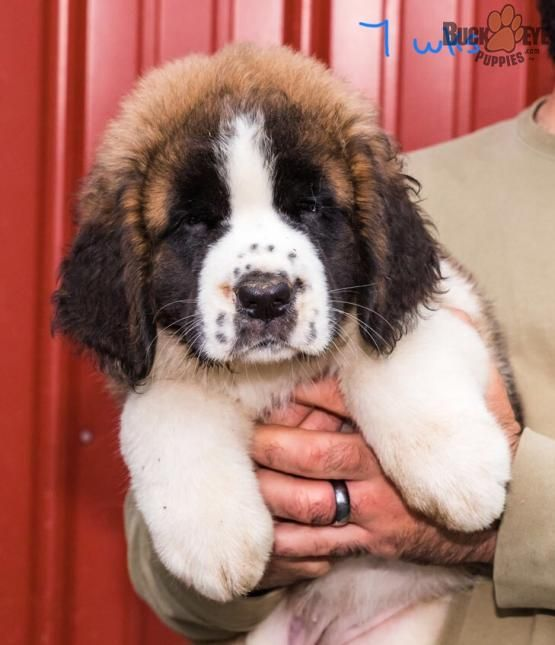 Lola Saint Bernard Puppy For Sale In Youngstown Oh Buckeye