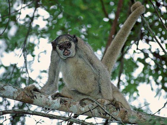 Nativo de uma área de Mata Atlântica que vai do Espírito Santo à Bahia, o muriqui-do-norte é um dos 5 animais brasileiros que integram a lista das 100 espécies mais ameaçadas do mundo: http://abr.io/3YFj