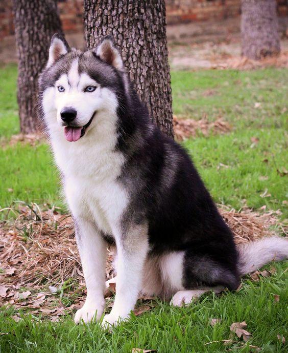 Troika Siberian Huskies
