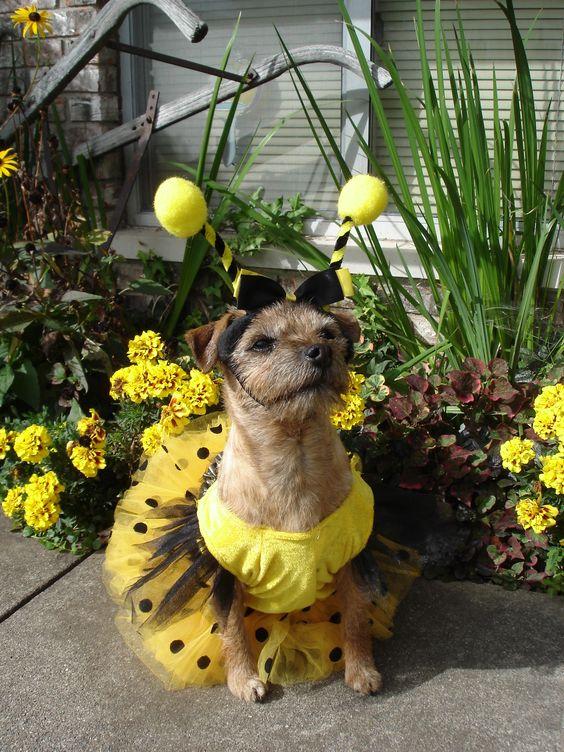 Border Terrier in Bee Costume.