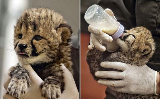 Adorable cheetah cubs land at the National Zoo.