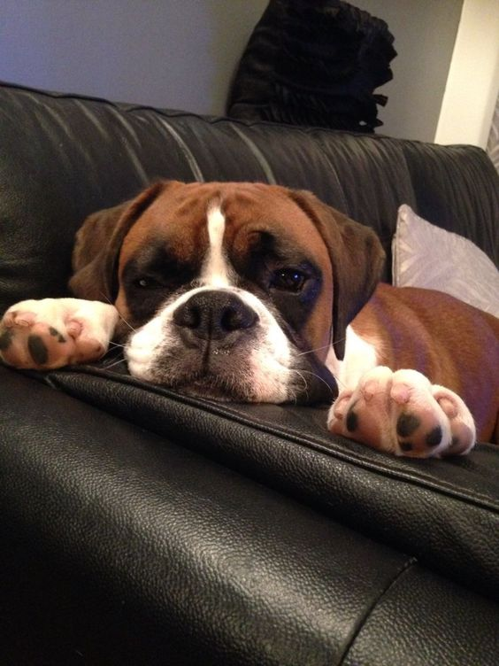 Puppy boxer dog taking a rest ❤️