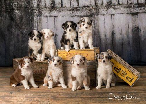 Australian Shepherd Puppy For Sale In Roberts Il Adn 57997 On