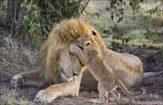 7-month-old lion cubs from Kenya meet their dad at the very first time