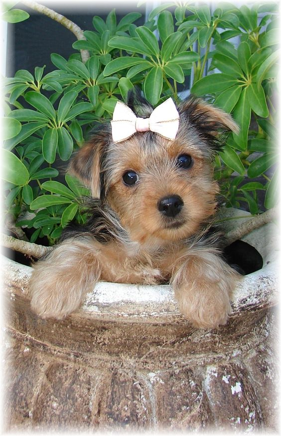 9 Week Old Adoptable Yorkshire Terrier... I want her!