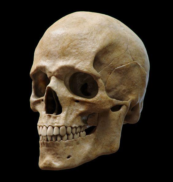 Animal Skulls | Taxidermy Skulls | eBay