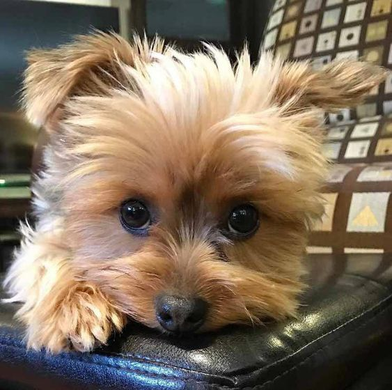 Yorkshire Terrier Puppies Are The Cutest Dogs In The World That Come From Yorkshire England Follow Us To Get Your D Yorkie Dogs Yorkie Puppy Yorkshire Terrier