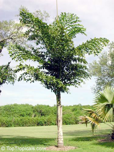Caryota urens (Solitary Fishtail Palm) - native to Indian ...
