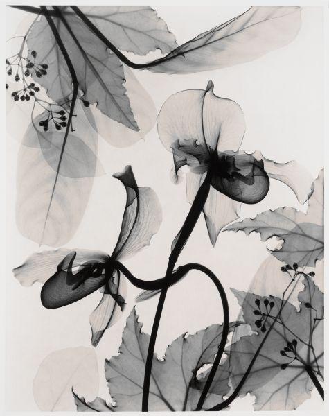 Optic Exploration: Paphiopedlium (Paph Orchid), Judith K. McMillan, 1999