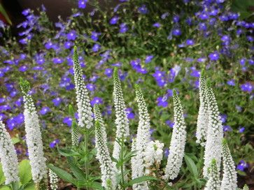 Or Veronica Vernique White and Dark Blue Lobelia