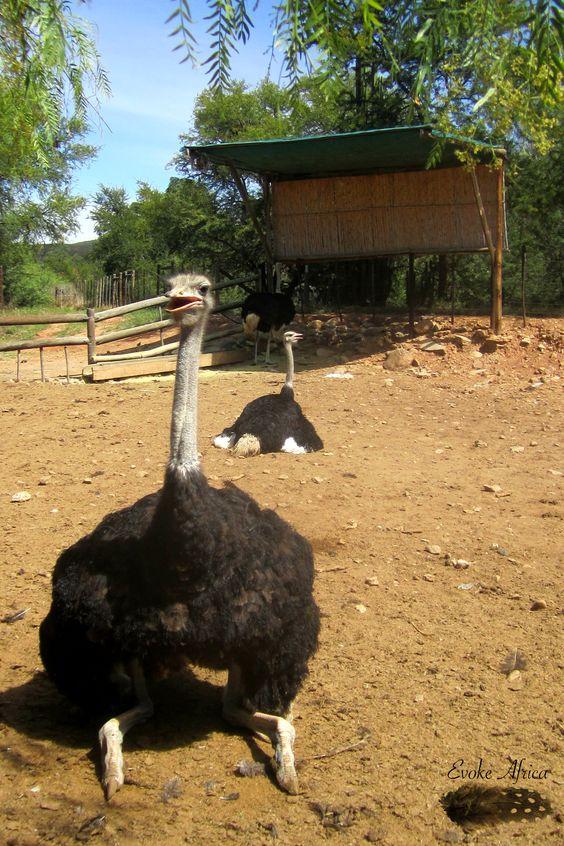 Taken at Cango Ostrich Farm, Oudtshoorn