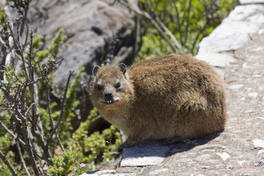 Dassies Are The Most Common Animals On Table Mountain Cape Town South Africa Africa Cape Town South Africa Cape Town Travel