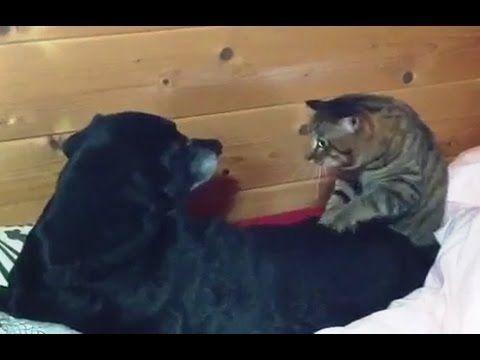 Gatos expertos en dar masajes a perros