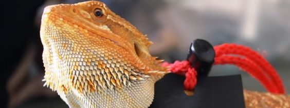 here are 5 fun activities for bearded dragons entertain your bearded dragon and develop a better by using these five activities