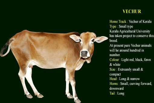 Desi Indian Cow Breed Vechur Breeds Of Cows Cow Breeds
