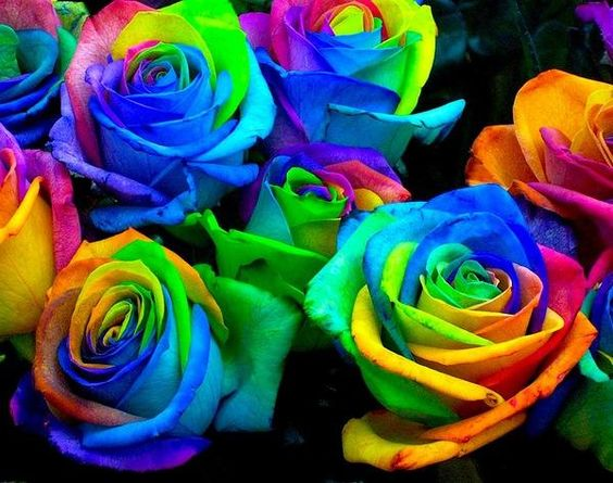Rainbow roses, colored by splitting the stems and placing them in colored water. The stem delivers the colors to the petals, creating a rainbow flower! Works well with chrysanthemums as well.