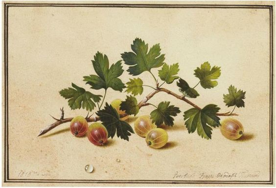 1Fedor Tolstoi (1783-1873) .Gooseberries. Pencil and watercolour on paper. 17 x…