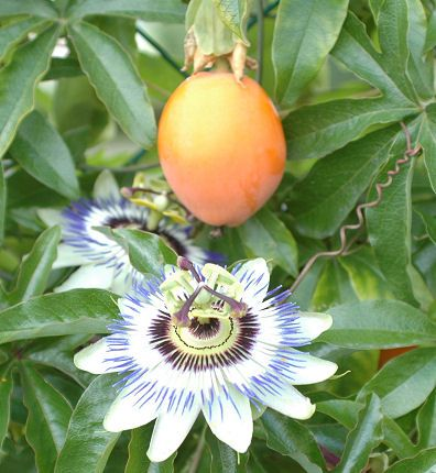 pomme de liane fruit des antilles trop trop bon plantes et jardins pinterest fruit et. Black Bedroom Furniture Sets. Home Design Ideas