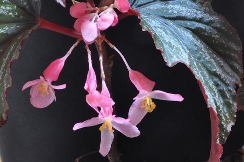 Begonia Bobbie Price Easy To Grow Houseplants Begonia House Plant Care