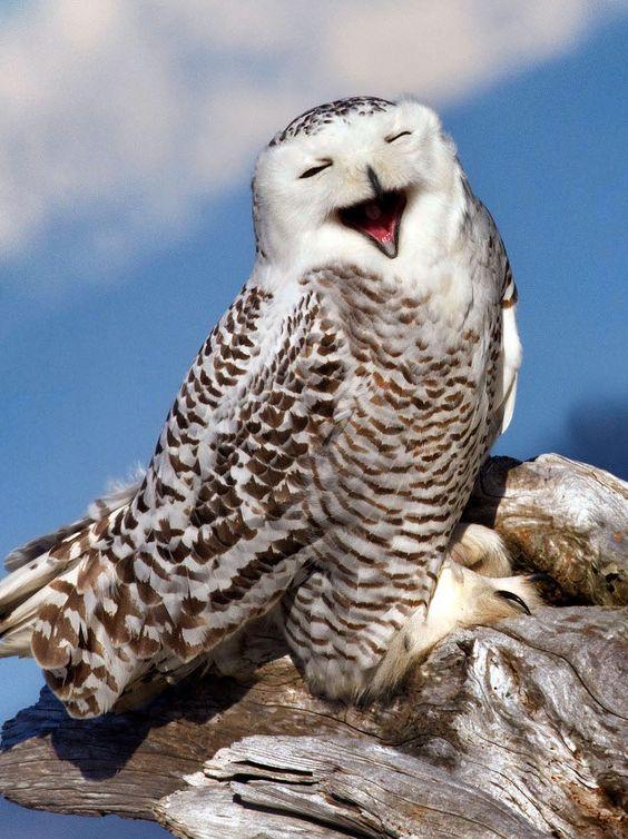 Smiling owl. Photographer Tim Man Olympic National Park Washington: