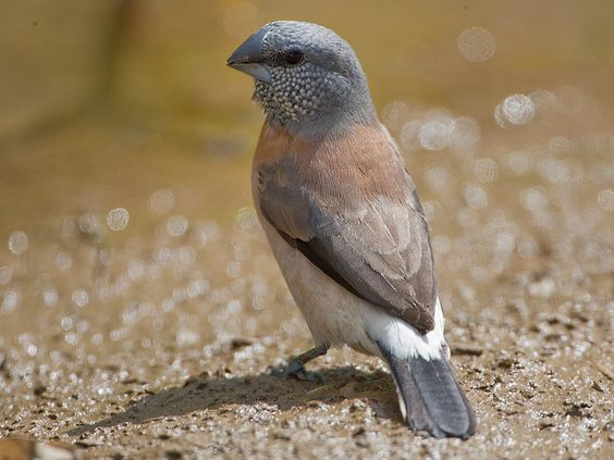 Grey-headed Silverbill (Lonchura griseicapilla) Tarique Sani