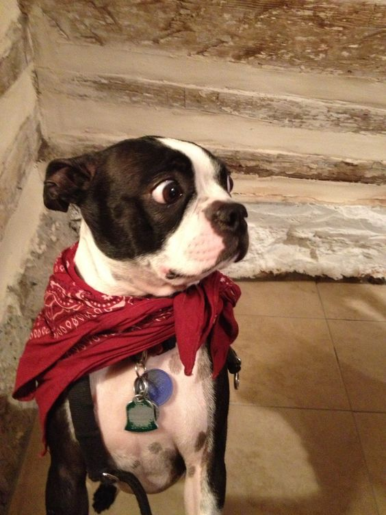 Someone quick.. Give me a cookie! -Princess Xena, Boston Terrier